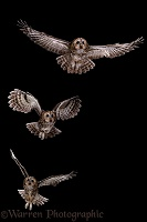 Tawny Owl flight sequence