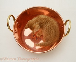 Ginger kitten looking at its reflection in a copper pan