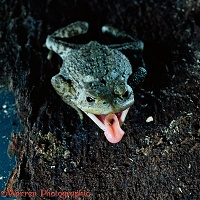 Common European toad catching beetle larva on tongue