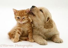 Golden Retriever pup licking ginger kitten's ear