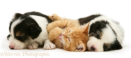 Sleepy Border Collie pups and ginger kitten