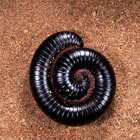 Giant millipede coiled for defence