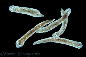 Group of freshwater Flatworms