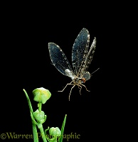 Giant Lacewing taking off