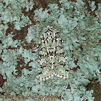Merveille du Jour moth  camouflaged on lichen