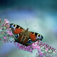 Peacock Butterfly on buddleia flower