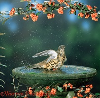 Mistle Thrush bathing