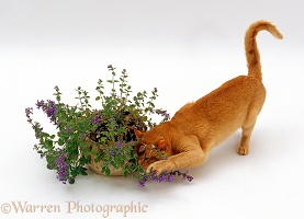 Ginger cat sniffing catmint
