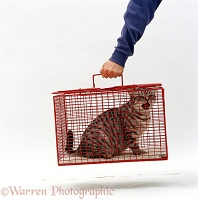 Silver spotted cat in a cat-carrier