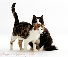 Tabby-and-white cat rubbing against black-and-white cat