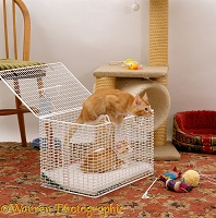 Two ginger kittens coming out of a cat carrier