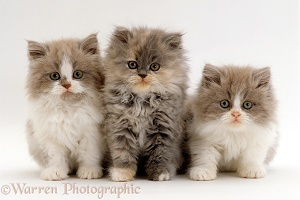 Persian cross, Lilac bicolour and blue cream kittens