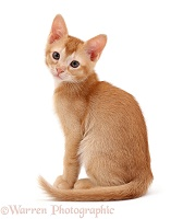 Ginger kitten, sitting