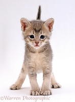 Ticked silver kitten standing