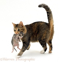 Cat carrying a kitten