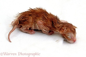 Newborn Ginger kitten, still wet