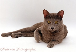 Blue Siamese Burmese cross male cat