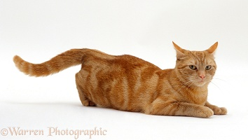 Ginger tabby female cat in lordosis