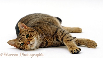 Tabby cat lying down