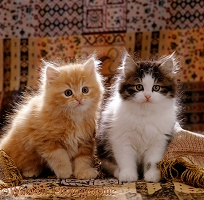 Red and tabby-white Persian-cross kittens, 8 weeks old