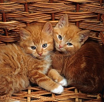 Ginger male kittens in a wicker basket