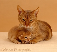Sorrel Abyssinian mother cat with her kitten, 2 weeks old
