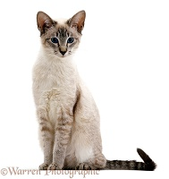 Blue tabby-point Siamese male cat