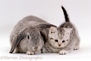 Silver spotted kitten with silver lop eared rabbit