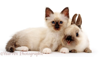 Birman kitten and Seal-point rabbit