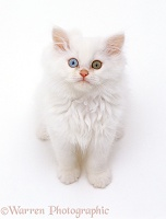 Odd-eyed white Persian-cross kitten looking up