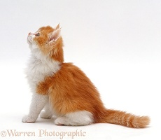Ginger-and-white bicolour kitten looking up