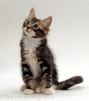 Tabby-and-white kitten sitting looking up