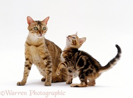 Mother cat and playful Bengal-cross kitten