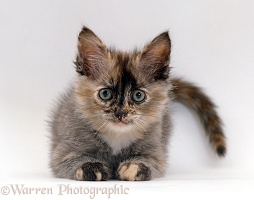 Tortoiseshell ragdoll-Turkish-van-cross kitten, 8 weeks old