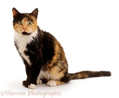 Undernourished tortoiseshell cat