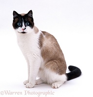 Seal-point Snowshoe cat