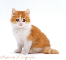 Ginger-and-white kitten, sitting