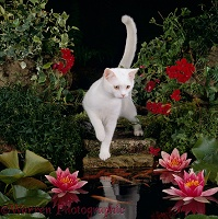 White cat watching Goldfish in garden pond