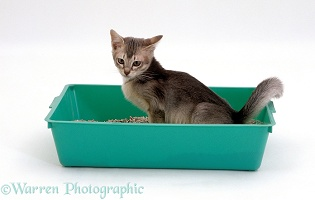 Kitten urinating in a litter tray