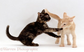 Burmese-cross kittens, 9 weeks old, playing together