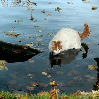 Turkish Van cat paddling in water
