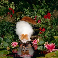 Turkish Van female cat watching goldfish