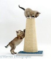 Kittens playing on a scratchpost