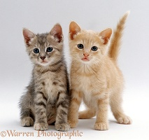 Tabby and Cream kittens