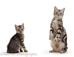 Silver tabby British shorthair cat and kitten