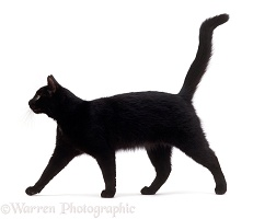 Black cat walking