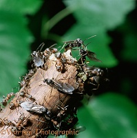 Wood Ant winged females