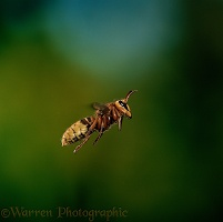Hornet in flight