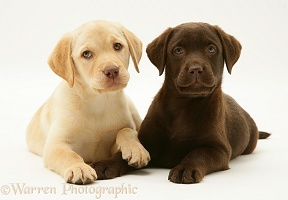 Yellow and Chocolate Labrador Retriever pups