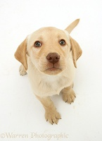 Yellow Labrador Retriever pup, sitting and looking up
